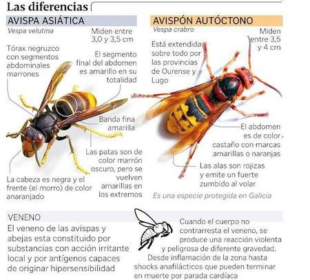 La avispa asiática, la plaga que avanza sin freno