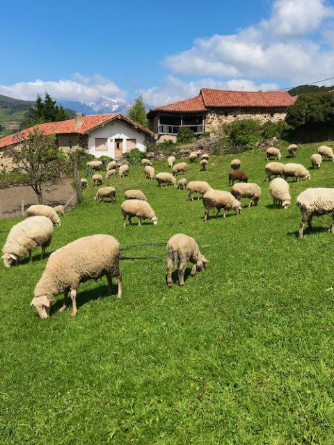 Experiencia lanera en Cantabria